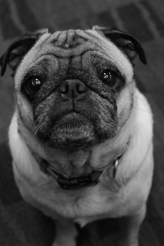 black and white cute pug