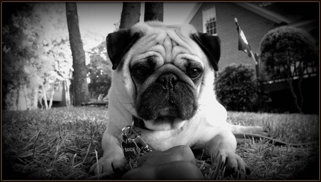 black and white cute pug with toy