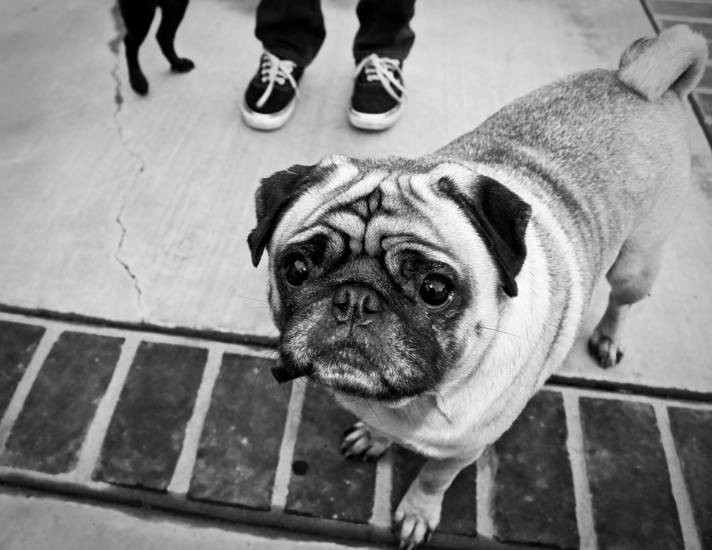 black and white of cute pug