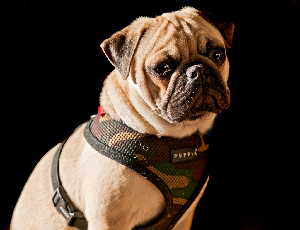 camo harness cute pug