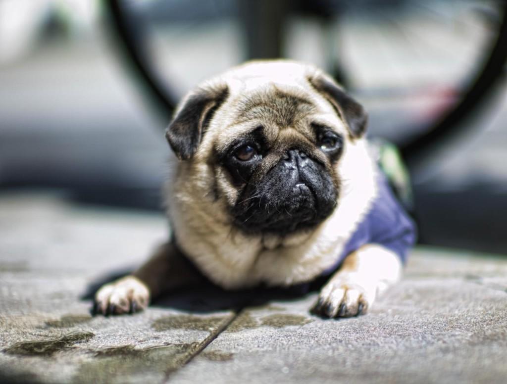 charming pug