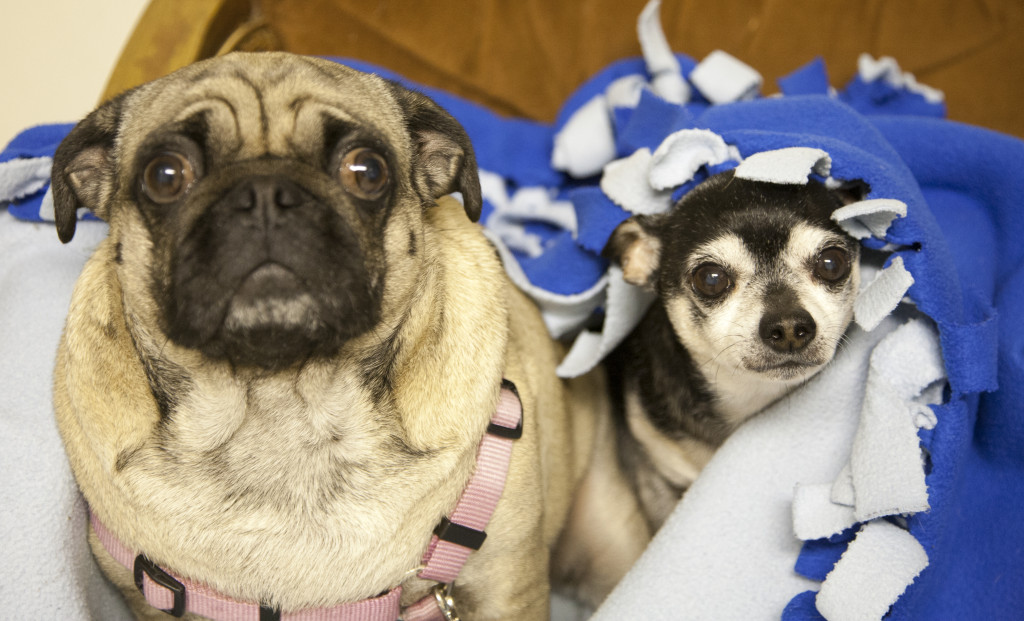 chihuahua and cute pug