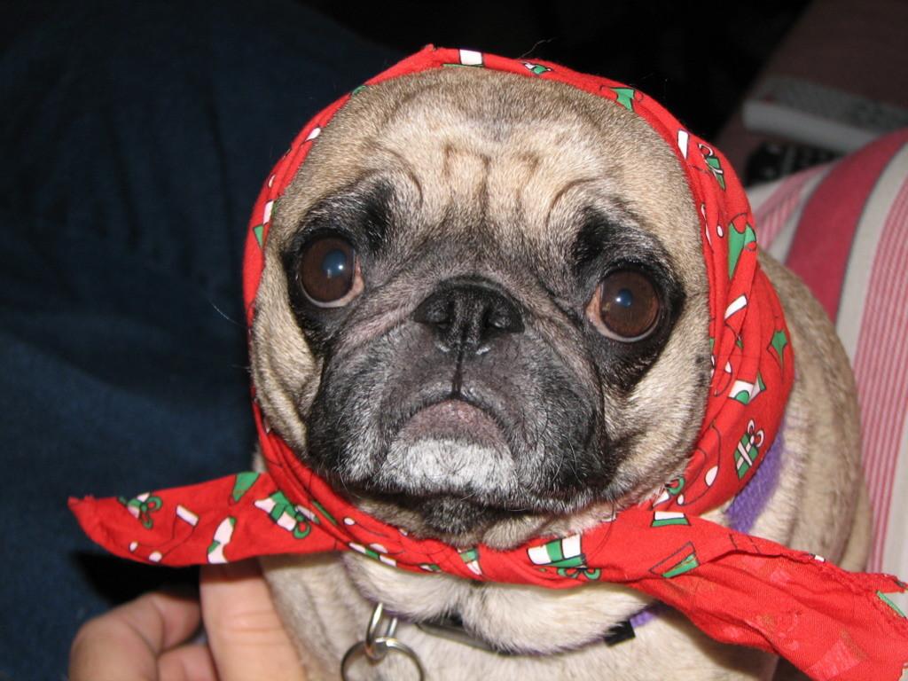 christmas scarf pug