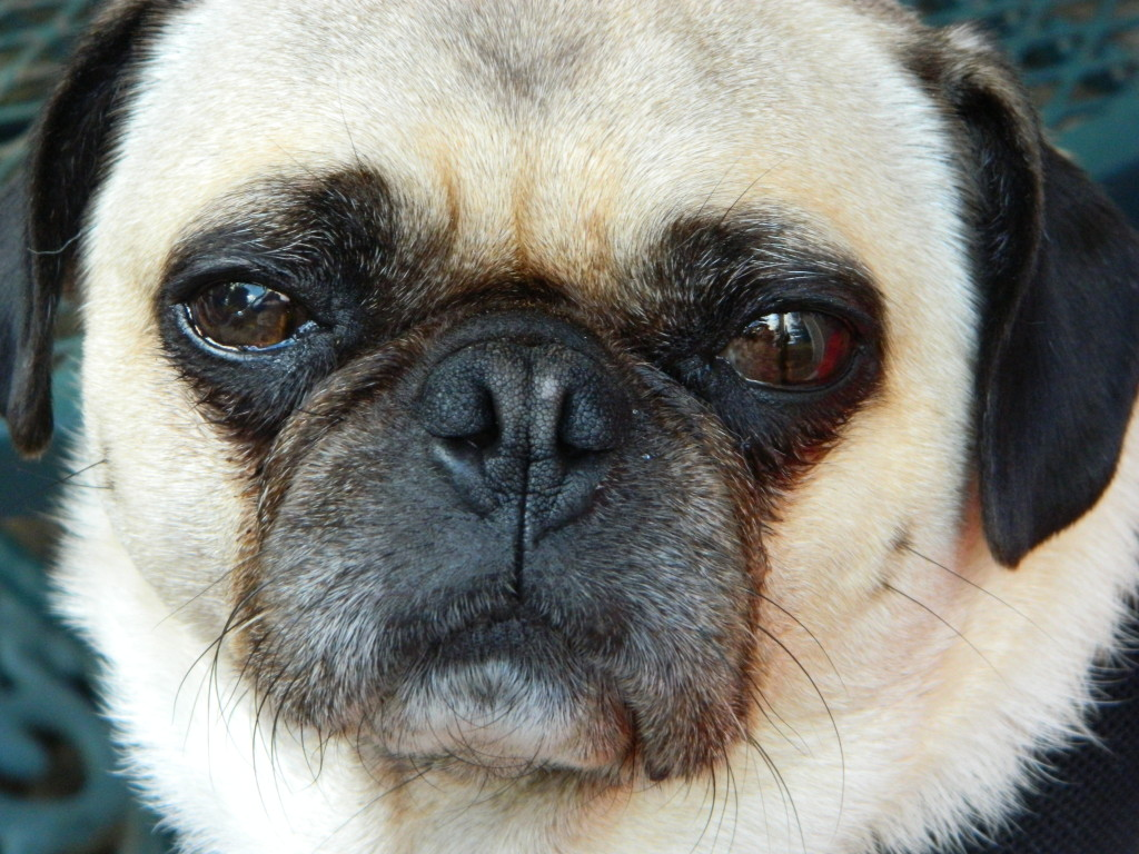 close up cute pug