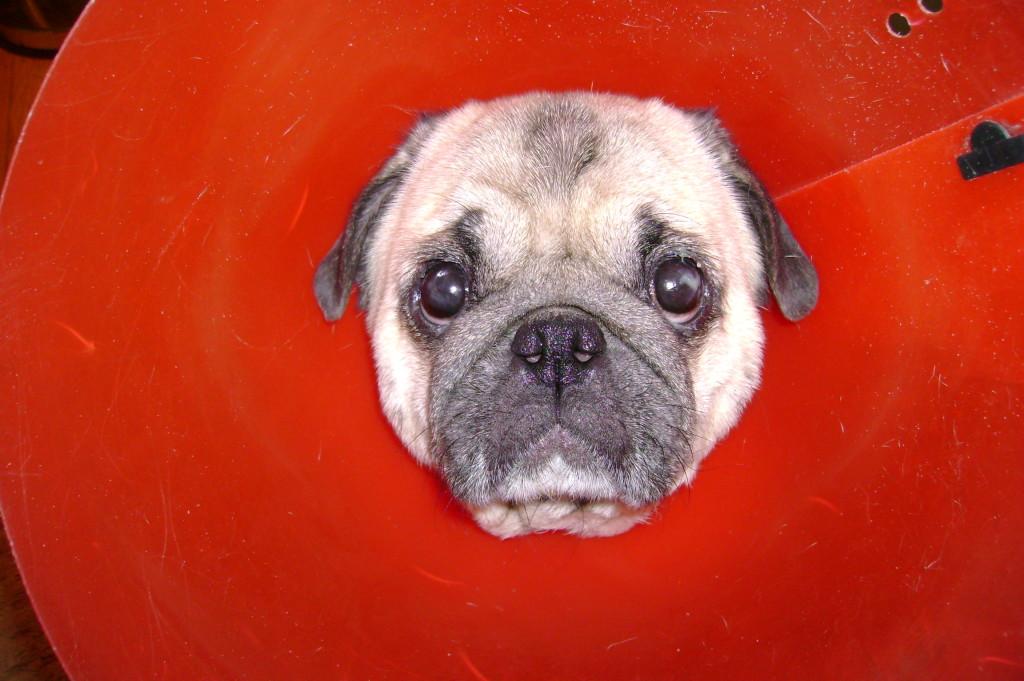 cone of shame funny pug