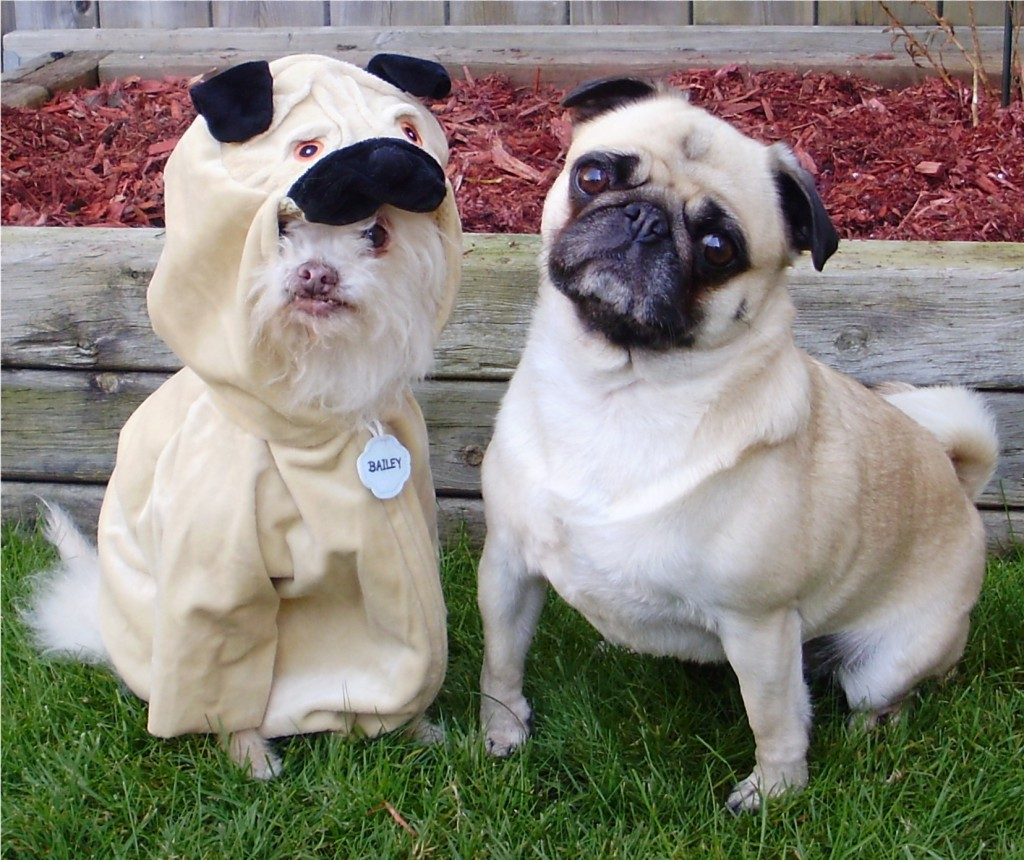 confused cute pug and imposter