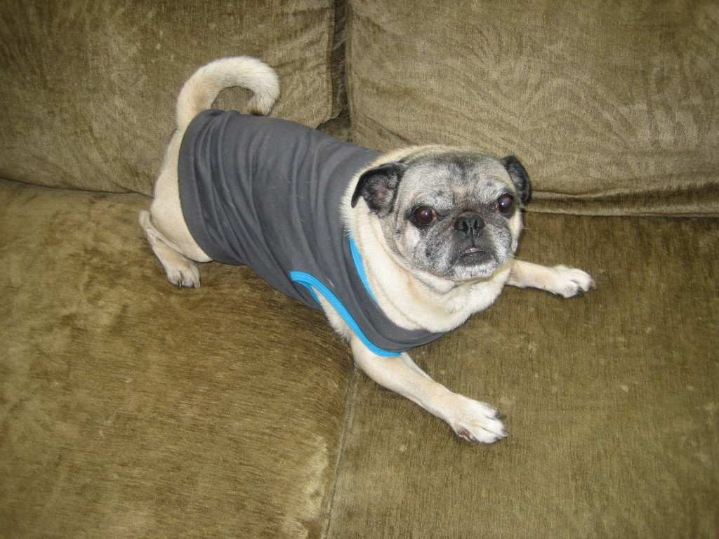 couch with cute pug in shirt