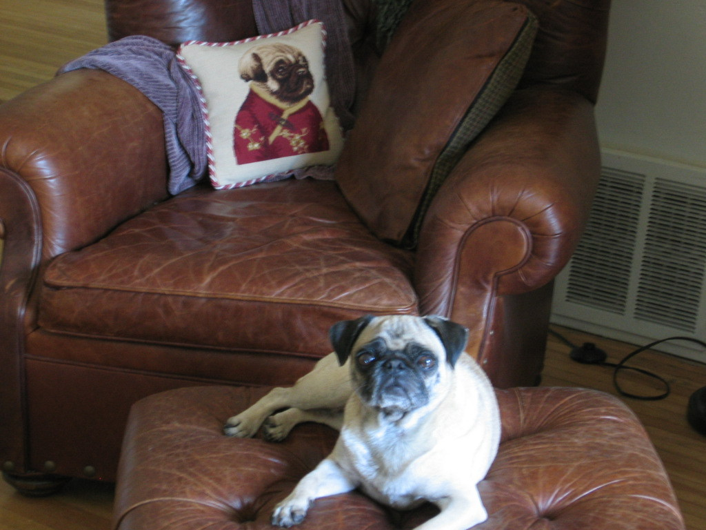 cute pug and pug pillow