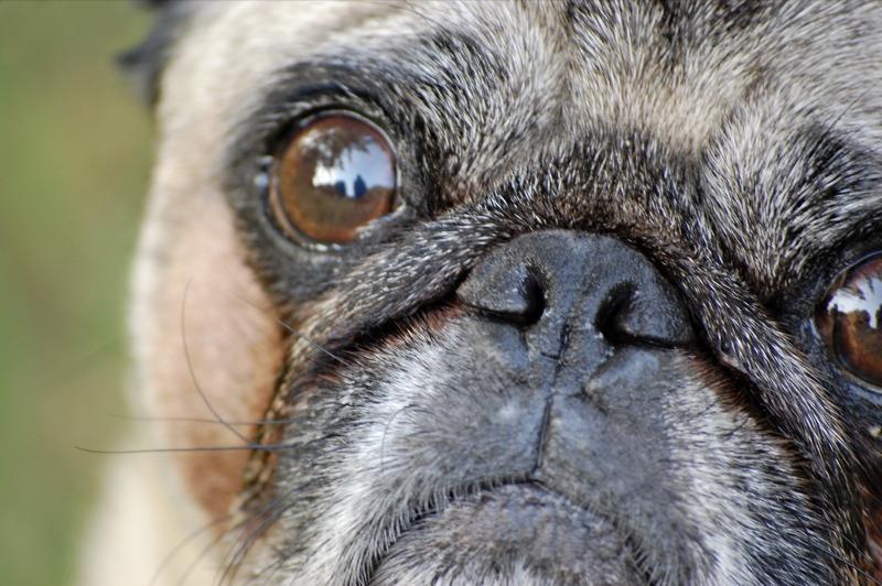 cute pug eyes