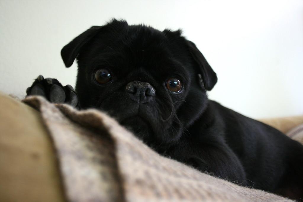 cute pug is alert