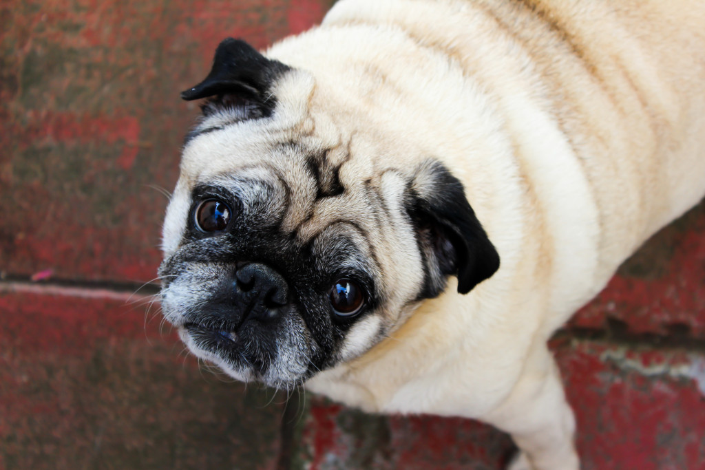 cute pug looking up to you