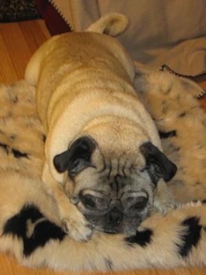 cute pug on a rug