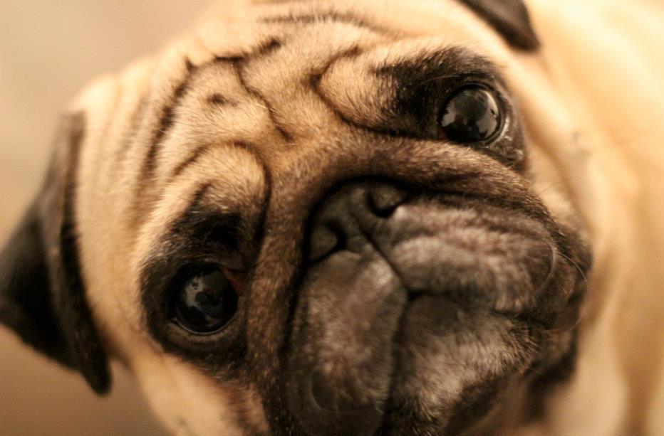 cute pug senior