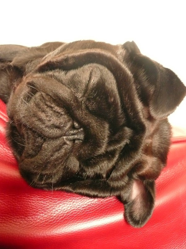 cute pug sleeping on red couch