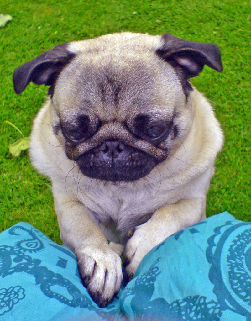 cute pug wants to sit with