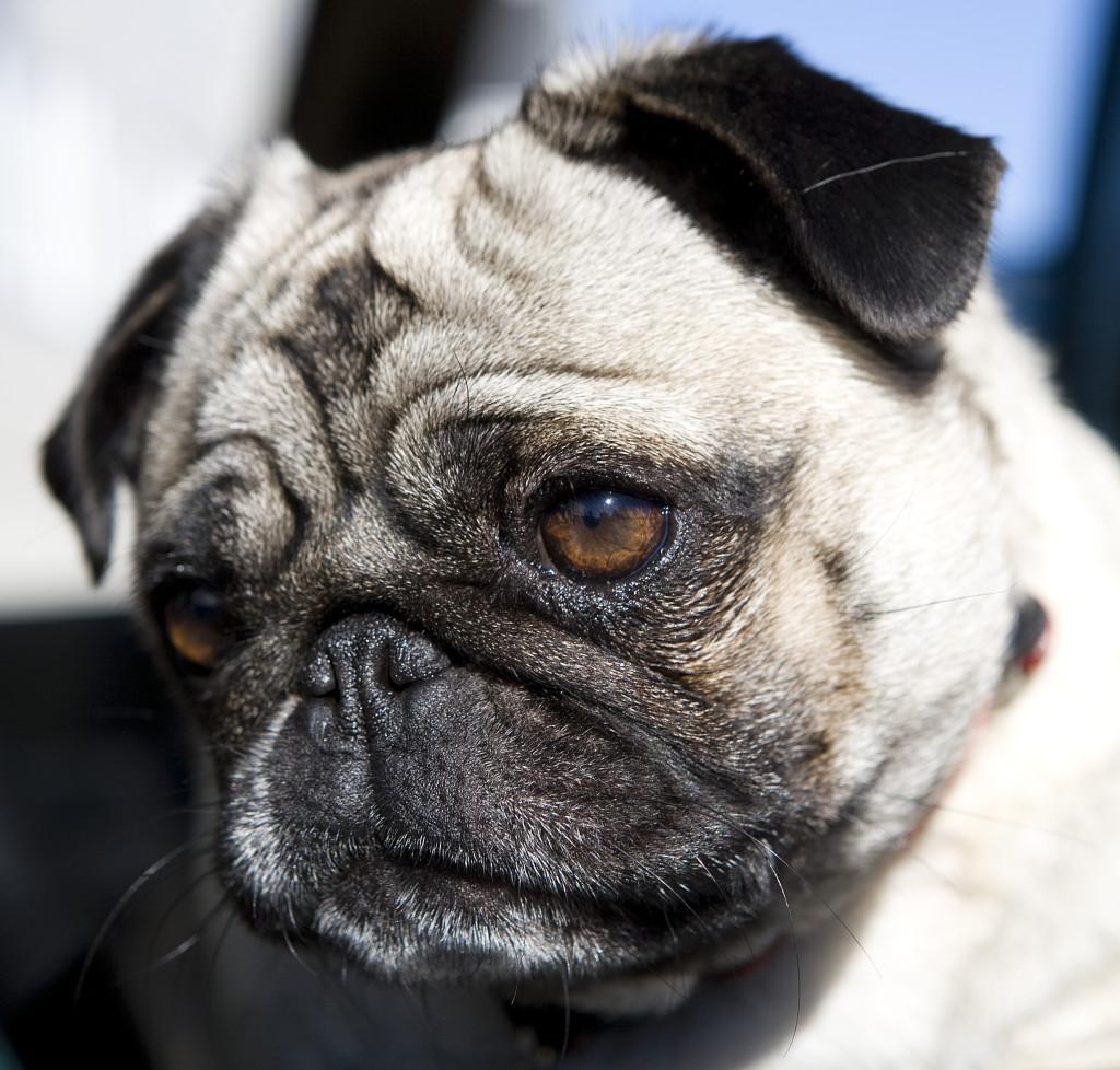deep staring cute pug