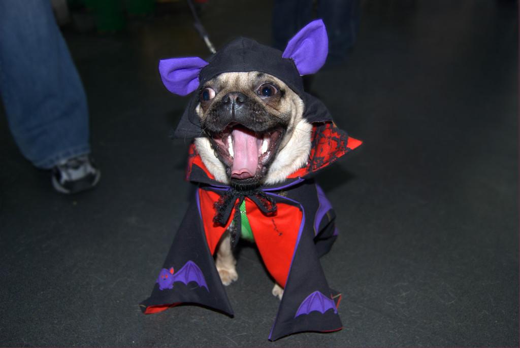 funny bat pug