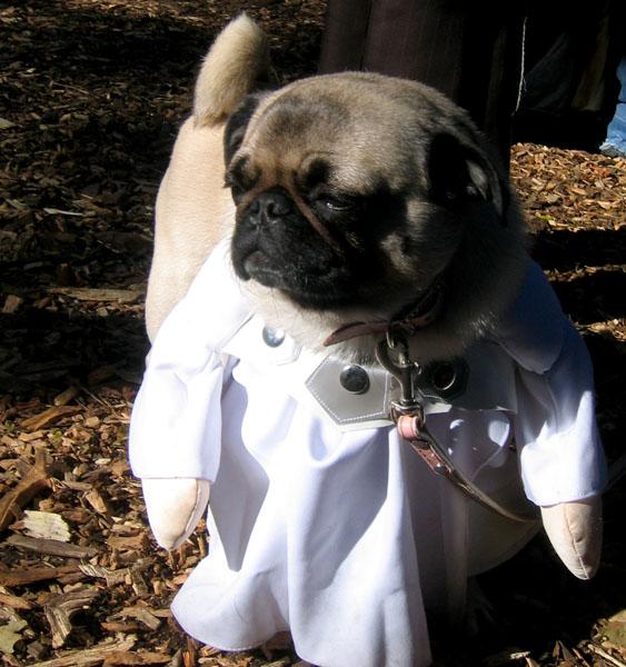 funny pug doctor