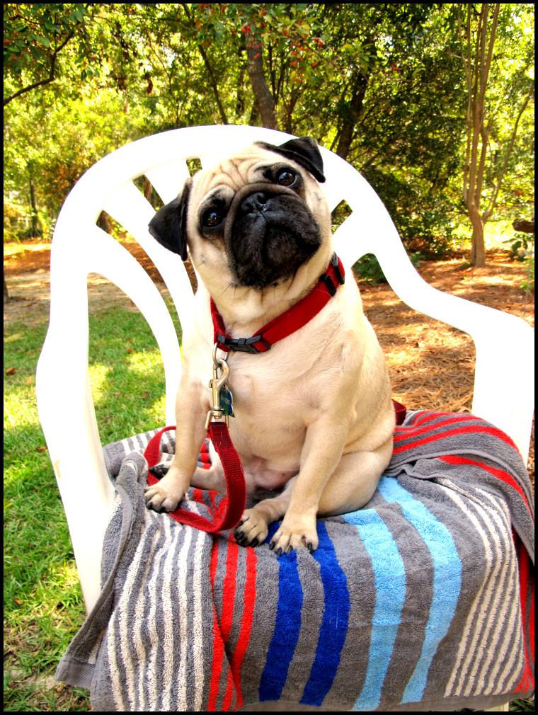 funny pug on a towel
