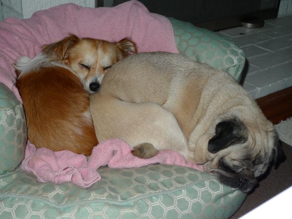 funny pug snuggle