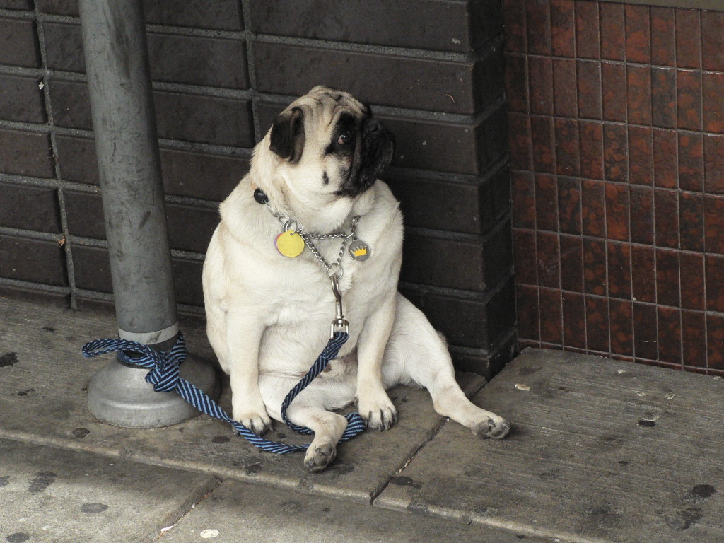 funny pug waiting on the street