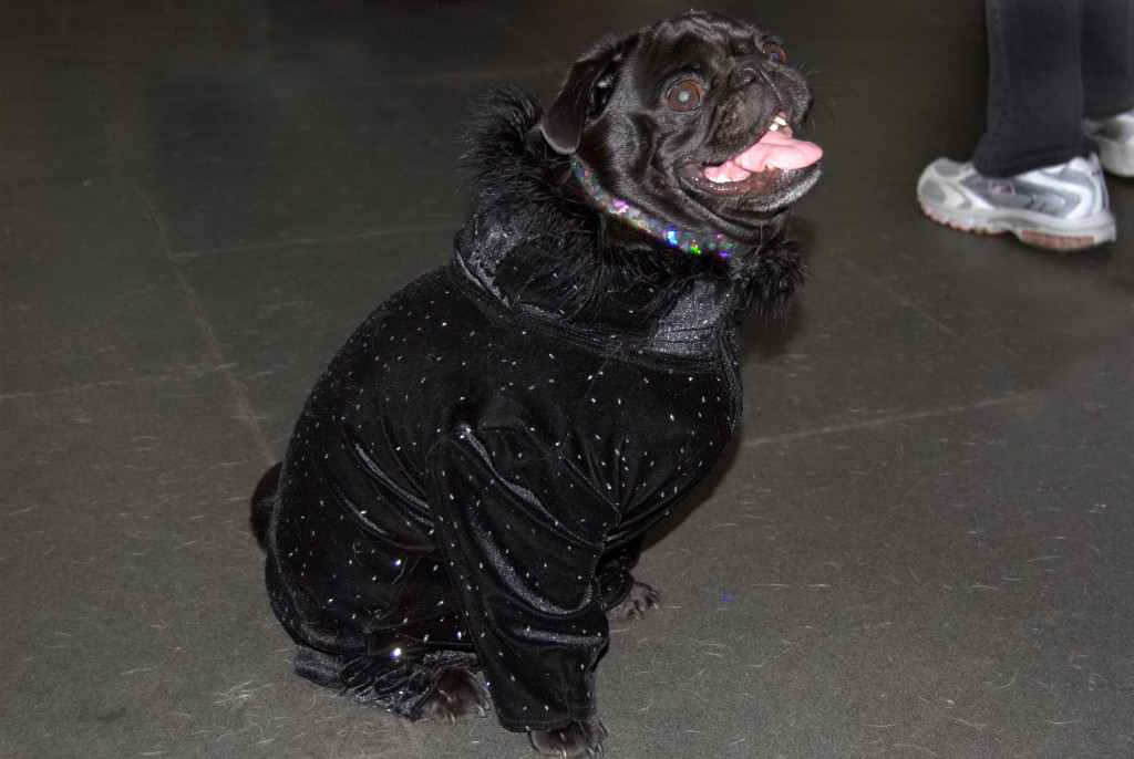 happy pug in sparkly coat