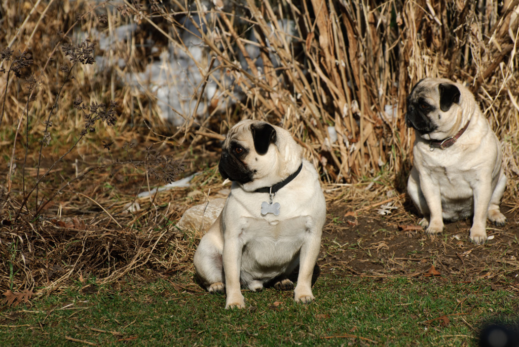 outdoor cute pugs