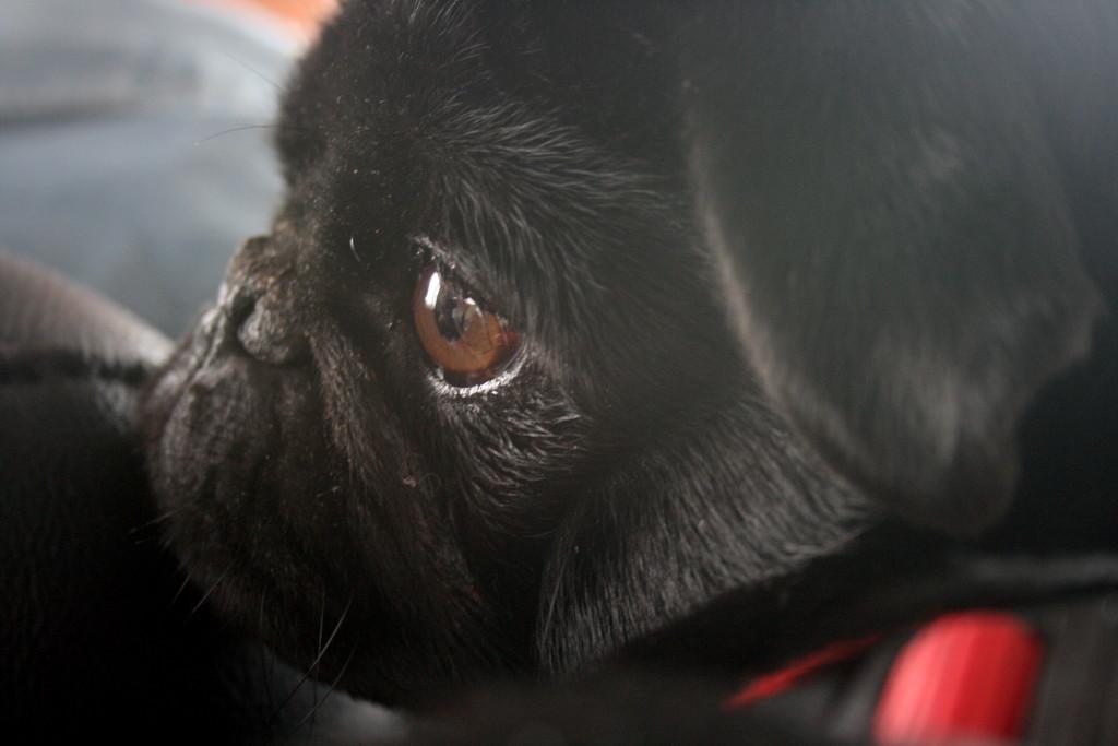 pug face serious