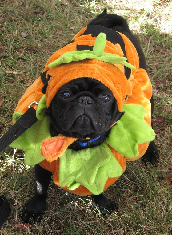 pumpkin costume cute pug