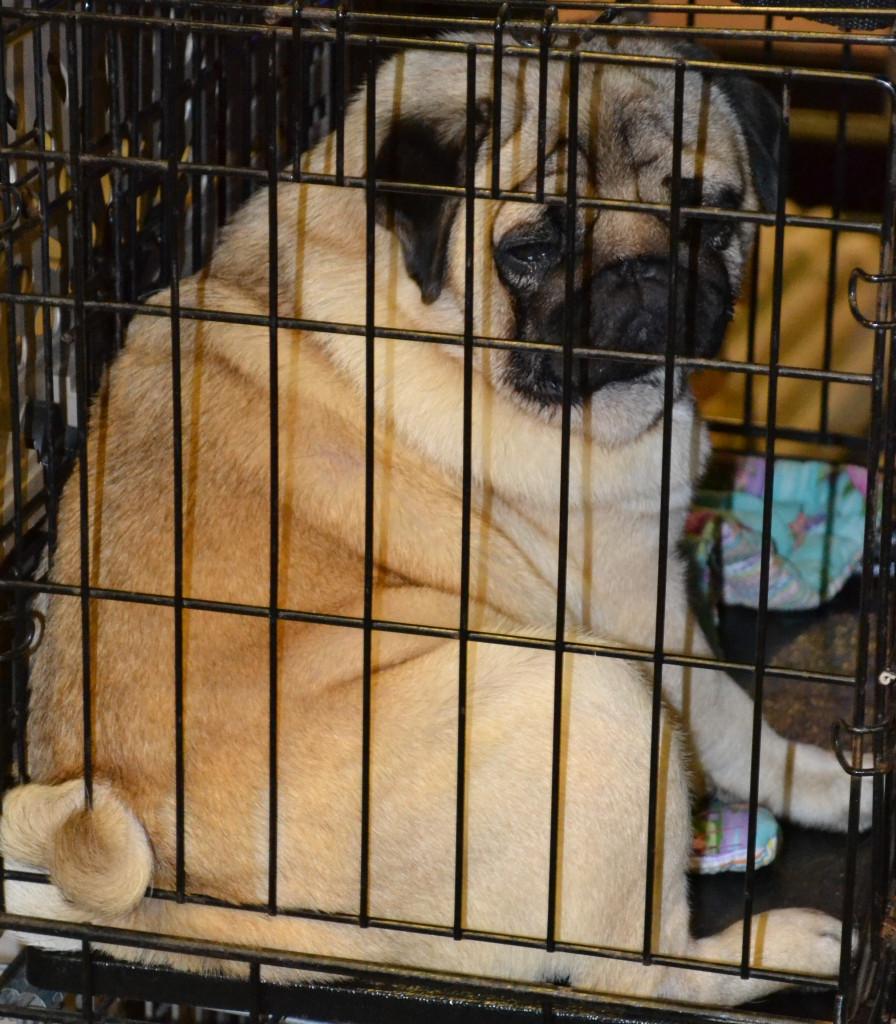 sad pug in a cage