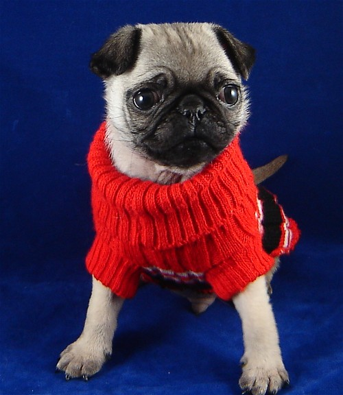 school picture cute pug
