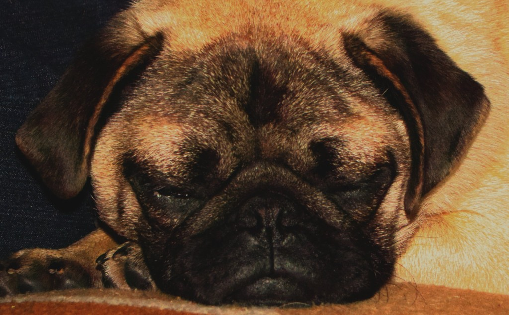 sleeping cute pug