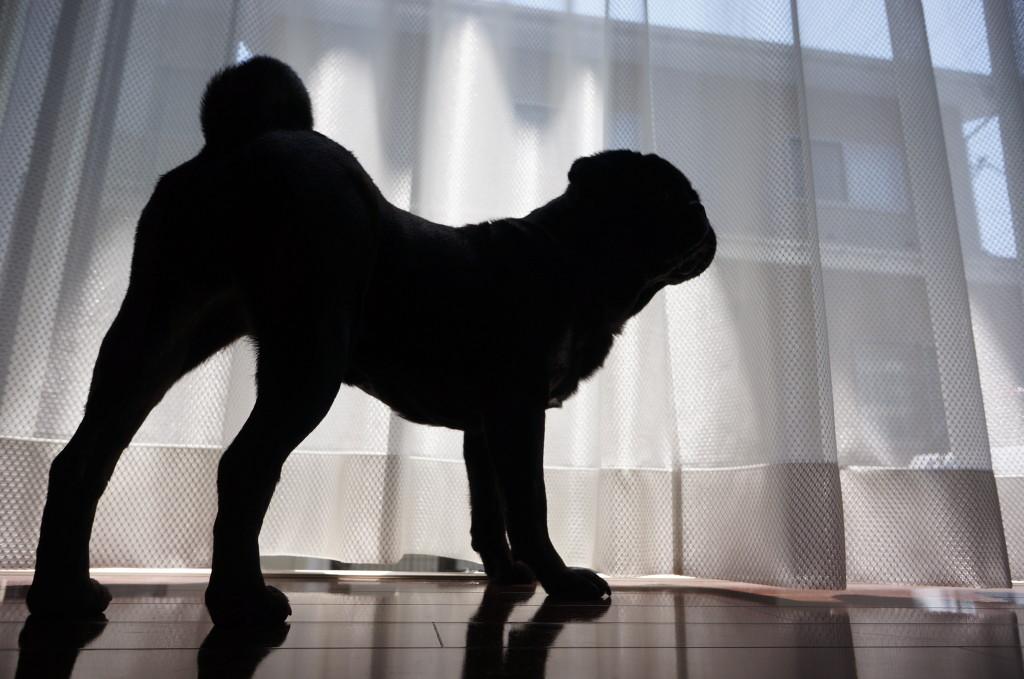 striking sillhouette pug