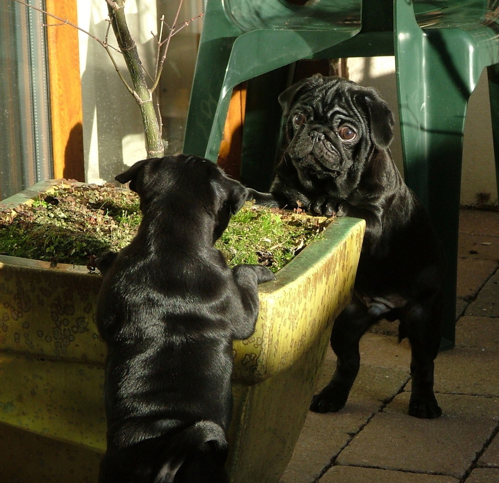 the meeting of the pugs