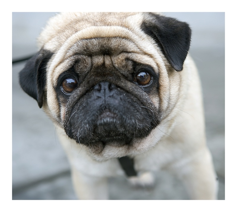 wrinkly cute pug