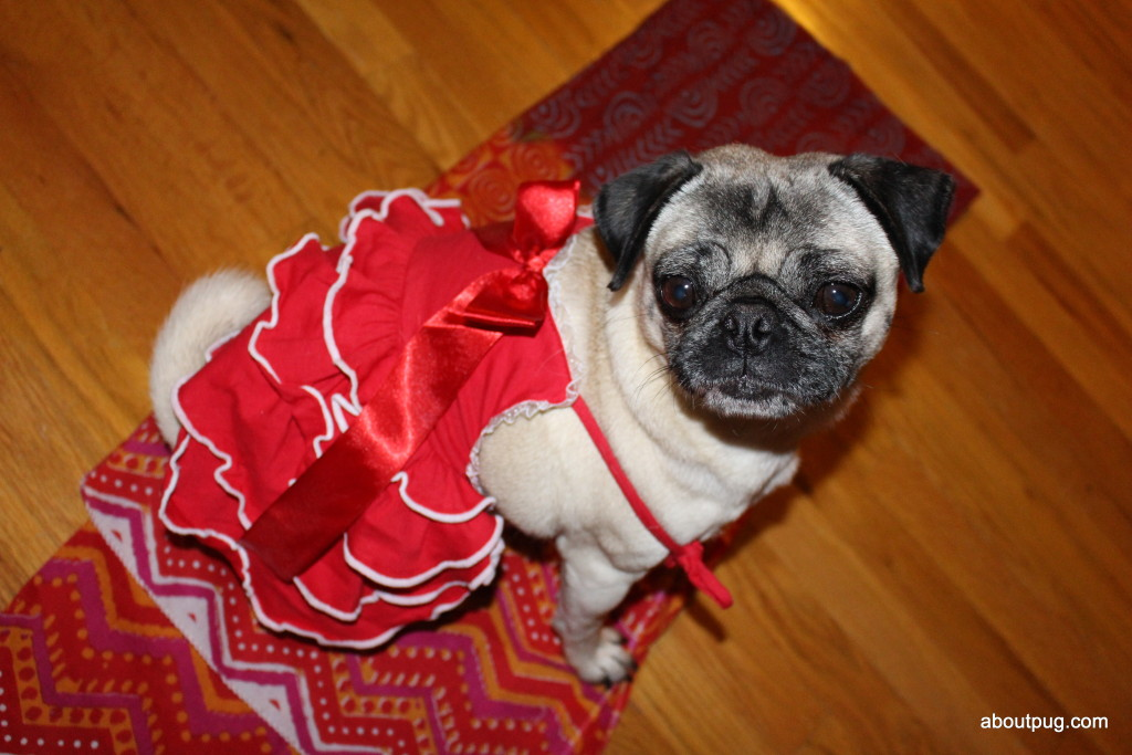 Cute Valentines Day pug Nickie 1
