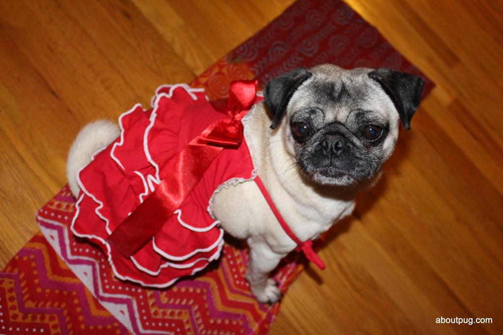 Cute Valentines Day pug Nickie 1