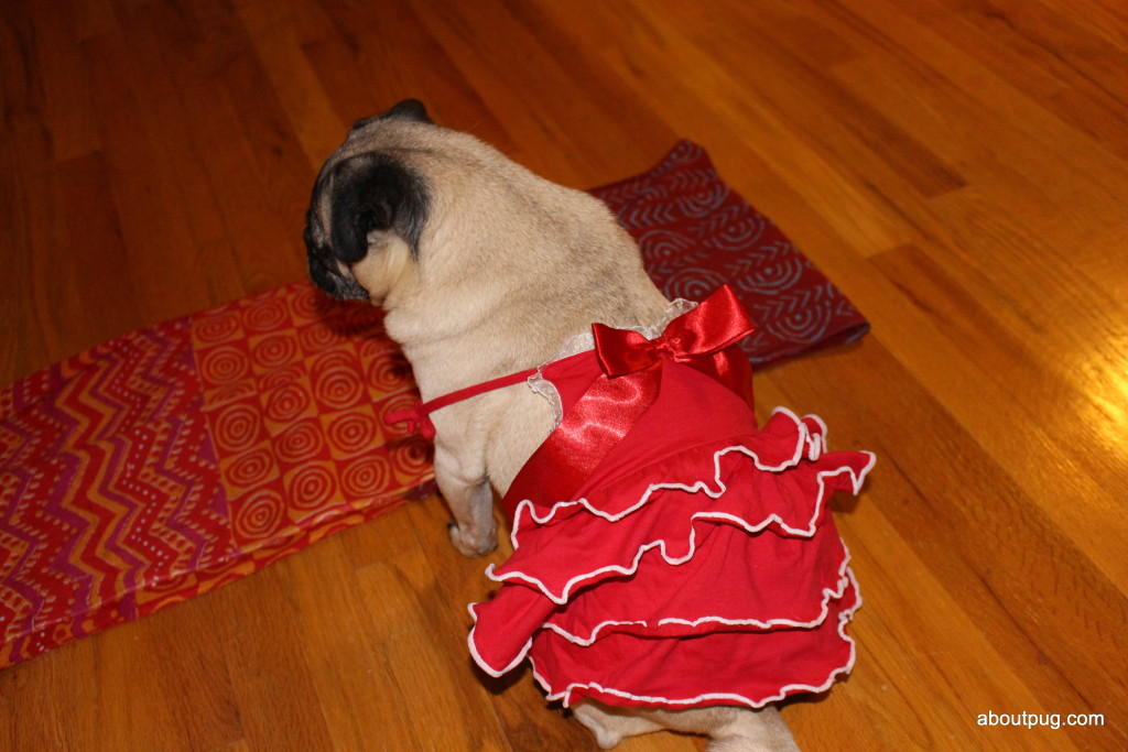 Cute Valentines Day pug Nickie 2