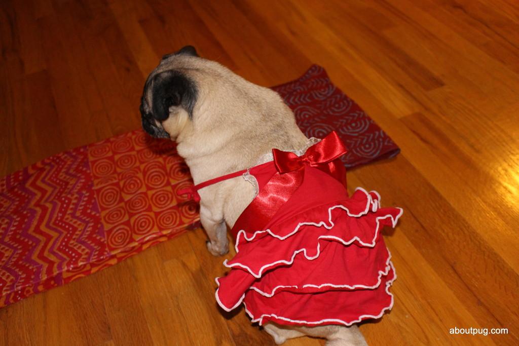 Cute Valentines Day pug Nickie 2