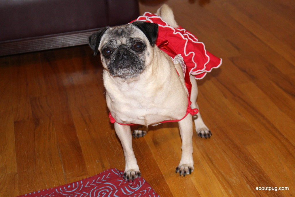 Cute Valentines Day pug Nickie 3