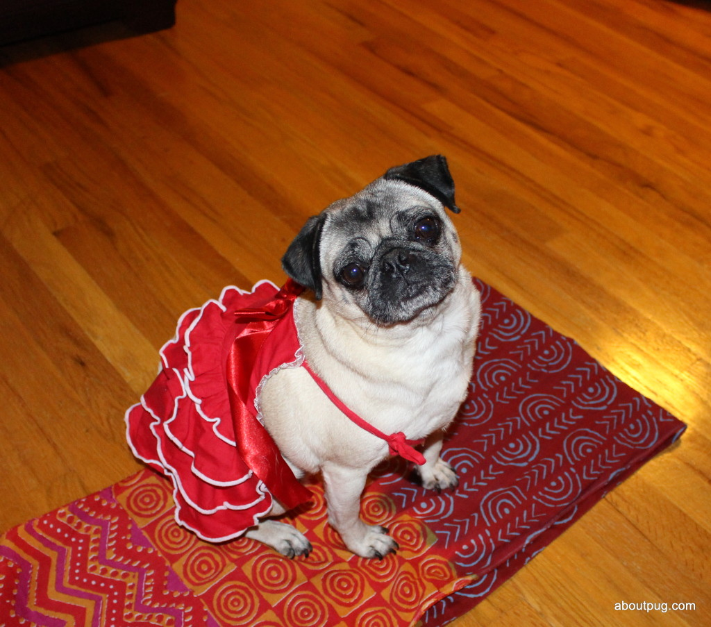 Cute Valentines Day pug Nickie 4