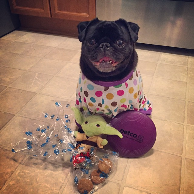 Cute-pug-ready-for-a-sleepover