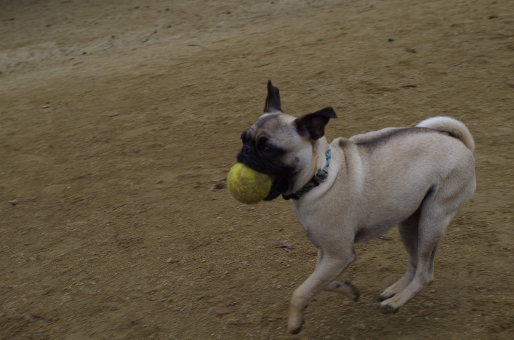 Cute-pug-with-ball