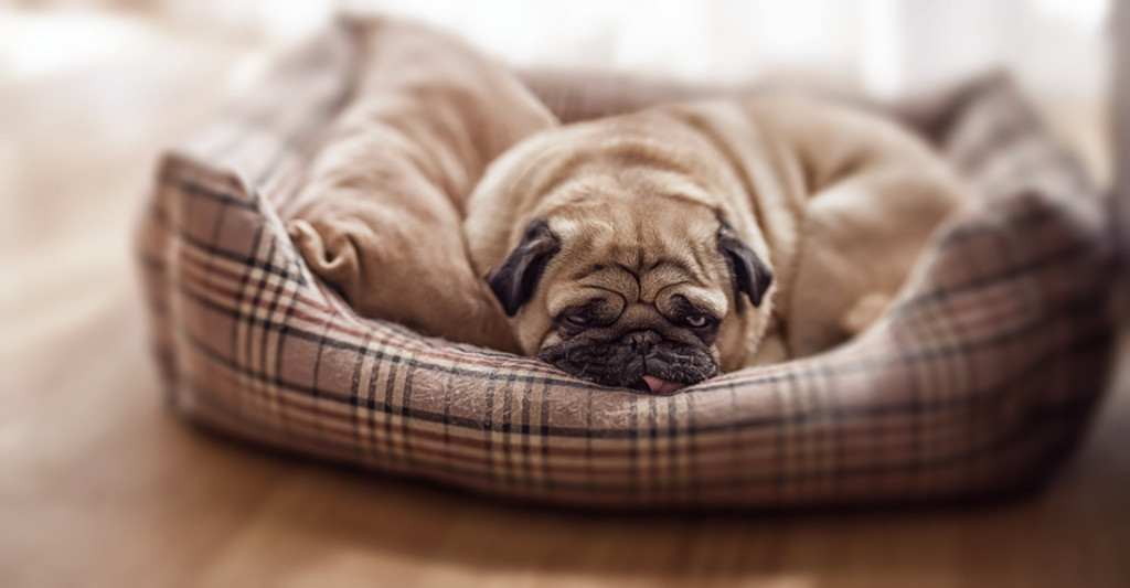Exhausted-pug-in-bed