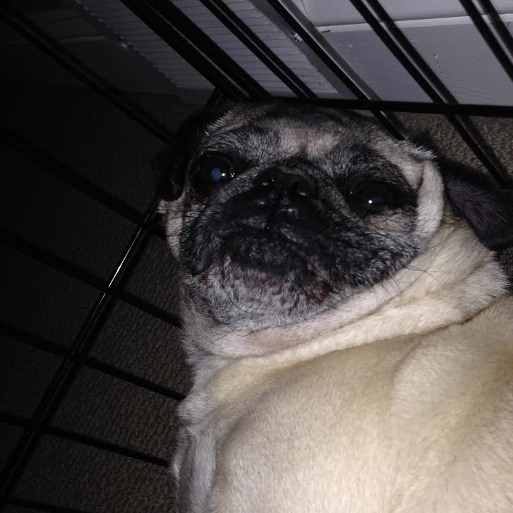 Nickie-pug-in-crate