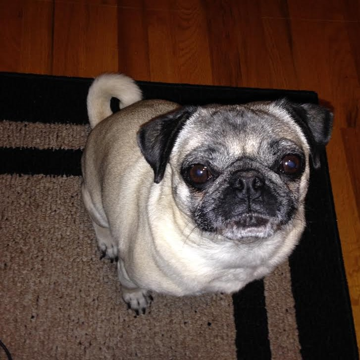 Nickie-pug-sitting-on-rug