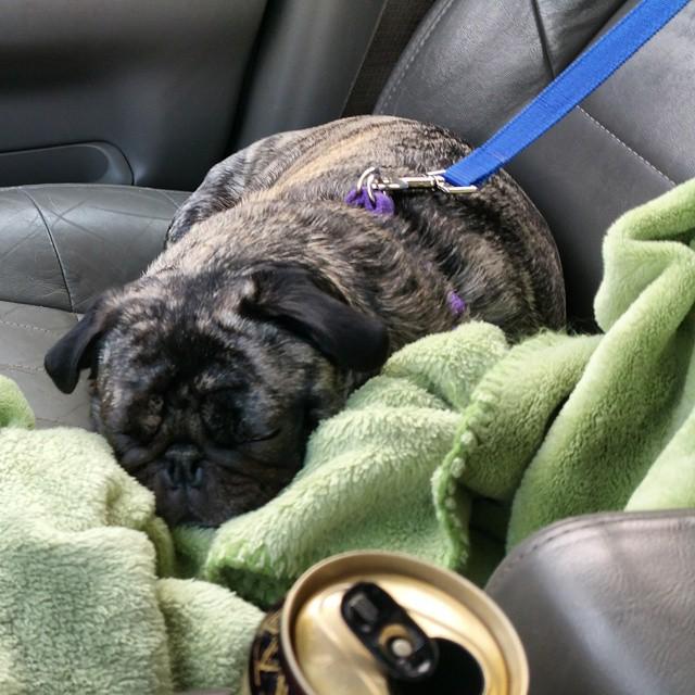 Road-trip-cute-pug