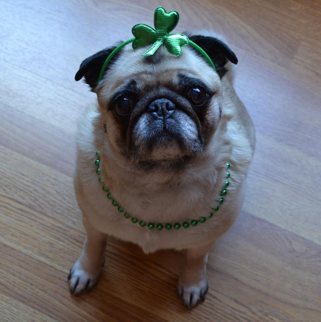 St.-Patricks-pug