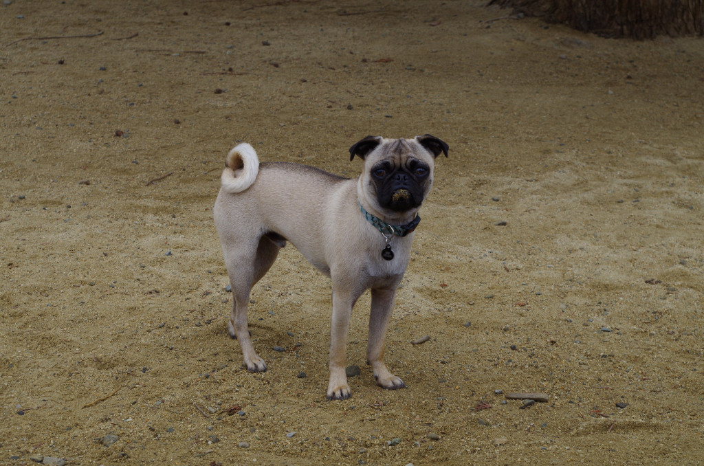 Standing-cute-pug-in-sand