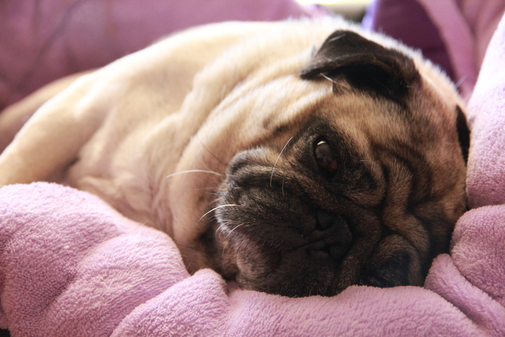 Tired-pug-laying-down